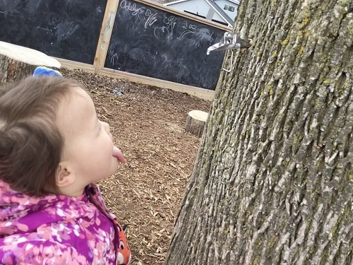 Toddler girl catching the sap from a maple tree with her tongue